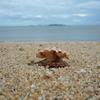 取り残された貝