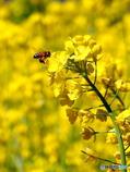 花と蜂18-①
