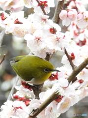 春メジロ135