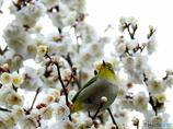 春メジロ116