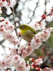 春メジロ136