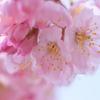 春めき桜-2