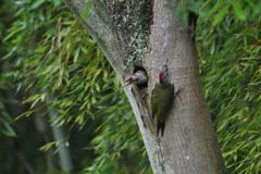 緑啄木鳥の最終日-3