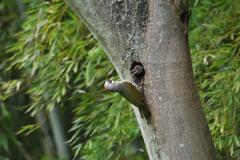 緑啄木鳥の最終日-5