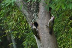 緑啄木鳥の最終日-2