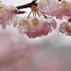 桜雨_2017