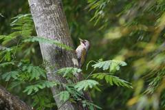 緑啄木鳥の最終日-1