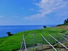 第千四百八十七作  「田んぼ なびかせて 青い風吹く」 石川県輪島