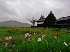 第千五百六十作  「長雨に ずぶぬれて こすもすも」 福井県上庄