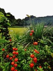 第千五百二十六作  「じつとり 風の重たさが ほおずきの実」 福島県白河