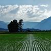 第千四百四十二作  「傍はらにすはれば ぐいぐい伸びる 稲の強さ」 福井県大野