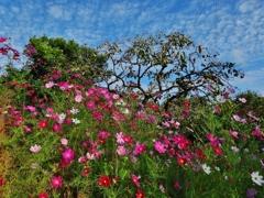 第千五百三十八作  「青柿と こすもすが 朝の空に うろこ雲」 山口県小郡