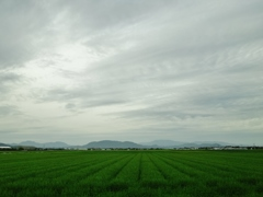 第千三百七十五作  「青麦が騒ひで 時雨をいそぐ」 佐賀県小城