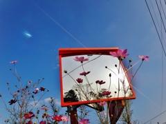第千六百十二作  「まだ咲ひてゐたのか 吾が身映して 秋桜の花」 熊本県熊本