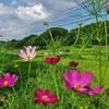 第八百十三作  「ひとりでに咲ひて ひとりでに散つて ひとりでに」 福島県三春