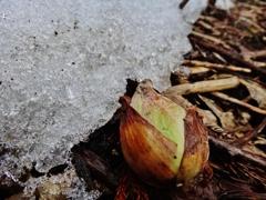 第千二百九十一作  「今年は雪が少ないさうな ふきのたう」 青森県近川