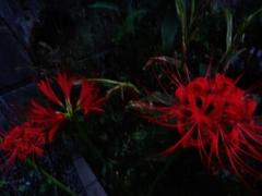 第千五百二十七作  「いのち終へれば 土と還へつて 花と咲く」 東京都多摩