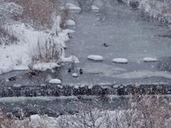 第千二百八十七作  「厳しさは 凍てつく川の 水鳥」 福島県白河