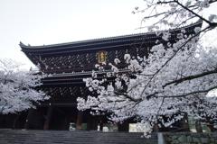 知恩院の山門の桜