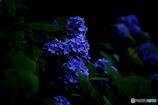 普通の紫陽花