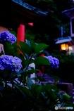 江ノ島紫陽花