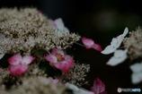紫陽花の季節JUNE