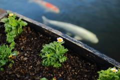 Flower and carp