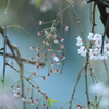 枝垂れ桜終焉の時
