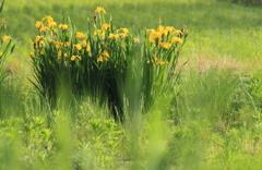 野に咲く黄菖蒲