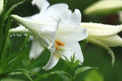 花言葉・・堂々たる美に・・ふさわしい白い百合