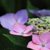 やっと・・好きな紫陽花に出会えた~喜び^^