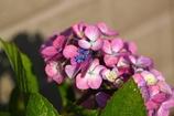 雨上がりと朝日が心地よい紫陽花
