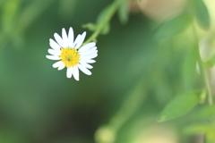 花言葉・・清爽-・ぴったりの野菊が咲いてた