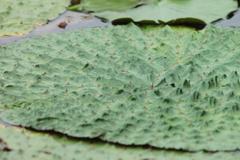オニバスの葉