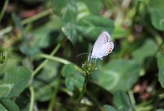 君の名は・・シジミ蝶