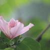 フイリソシンカ ランの木