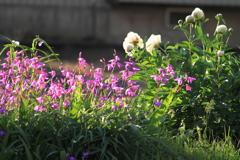 朝陽が眩しいお花たち^^