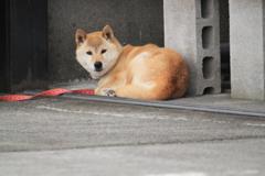 朝散歩の出会い・・芝犬さん雌^^