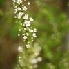 やっと咲いた雪柳