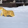 パークのトラさん・・雪で動けず?(^'^)