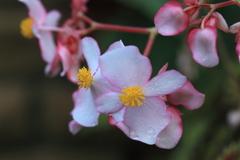 大きな花びらのシュウカイドウ科のベコニア