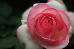 雨雫が似合うバラ