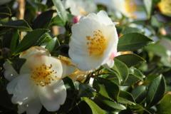 白い山茶花も咲いてた散歩道