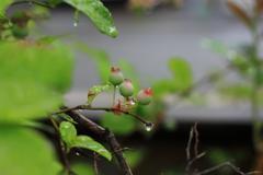 雨上がりのブルーべリー