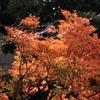 雨で一層映える紅葉