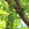 メタセコイアの緑