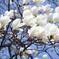 木蓮の花 ♪