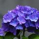 今朝の紫陽花 ^^