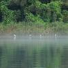 静かな川の朝を楽しむアオサギたち
