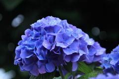 やっぱり雨が似合う紫陽花